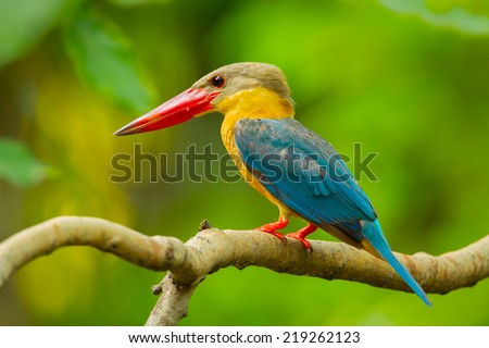 Close up of Stork-billed Kingfisher (Pelargopsis capensis)  in nature of Thailand