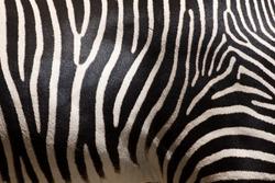 Close-up of stripes on zebra fur