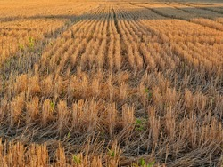 Close-up of stubble of a mown wheat field, rows of ears on a mown field