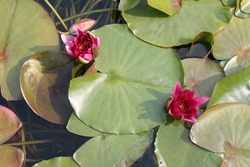 Close up of stunning bright pink lily flower and buds with green large pad,  leaf leaves of lilies reflections and shadows still clear pond lake water in large country nature reserve birds eye