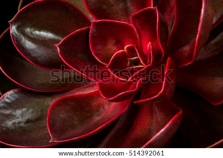 Close-up of succulent echeveria. Macro photography of nature.