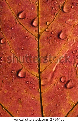 Close-up of Sugar Maple leaf in Fall color sprinkled with water droplets.