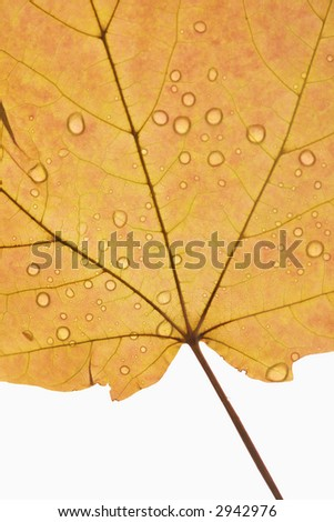 Close-up of Sugar Orange Maple leaf sprinkled with water droplets against white background.