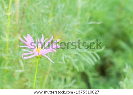 close up of Sulfur Cosmos or Yellow Cosmos