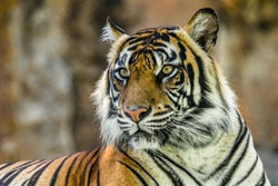 close up of sumatran Tiger