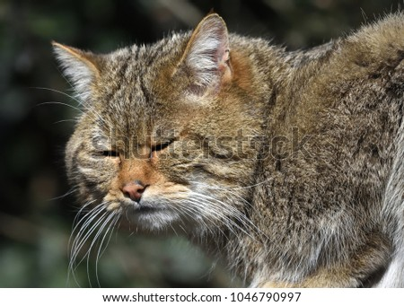 Close-up of  sunbathing Wildcat (Felis silvestris) #1046790997