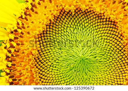 close-up of sunflower. #125390672