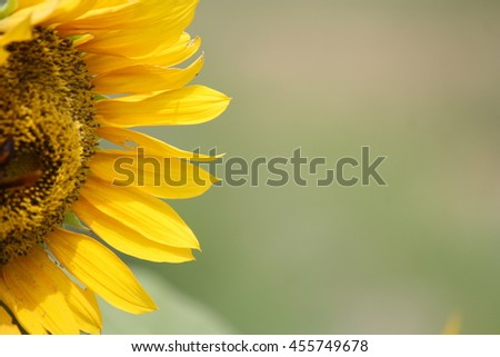 Close up of sunflower #455749678