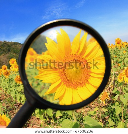Close up of sunflower by magnifying glass