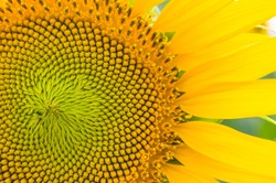 Close up of sunflower. Detailed sunflower part with its seeds and fibonacci sequence.