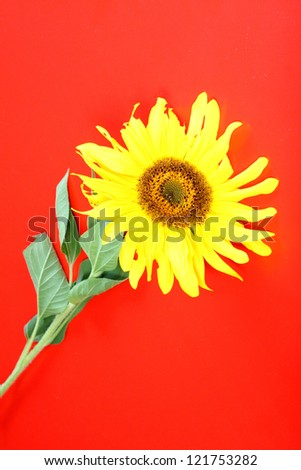 Close-up of sunflower, nature photo
