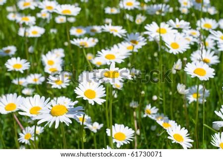 Close-up of sunny chamomile-daisy field - stock photo