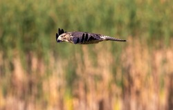 Close up of Swainson's Hawk Juvenile, sleek and streamlined in flight, looking down over Wetland Habitat.