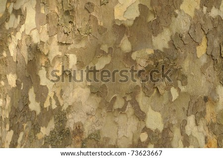 Close-up of Sycamore Tree