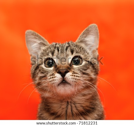 Close up of tabby cat on orange background