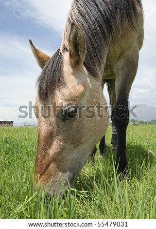 close up of tan horse grazing on grass in a  field