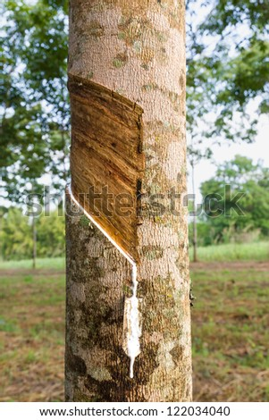 Close up of tapping latex from rubber tree in Thailand