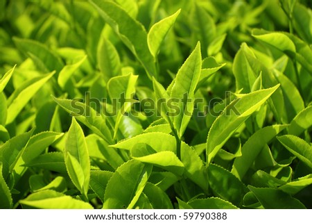 Close-up of tea leaves