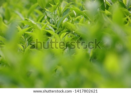 Close up of tea leaves in a tea plantation