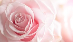 Close up of tenderness pink rose. Flower background in soft color and blur style. Macro photo of fresh rose.