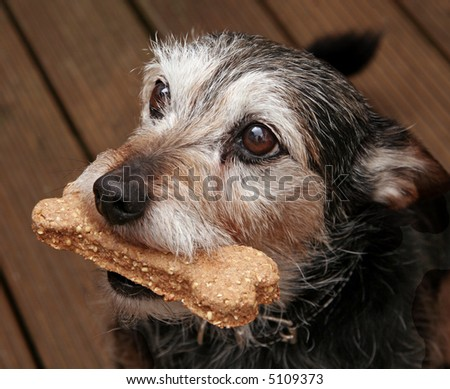 Close-up of terrier with a bone shaped treat in his mouth