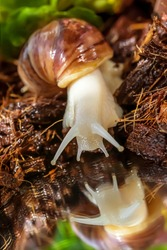 Close-up of the Achatina snail. A snail on the shore of a lake looks at its reflection. Reflection of a snail in the water. Soil and stones texture. Leaves of a green plant. Green grass on the shore.