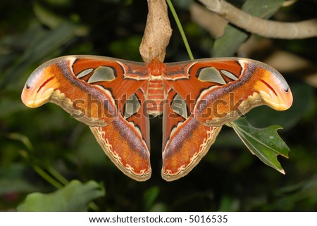 close up of the attacus atlas butterfly. The biggest butterfly in the world!