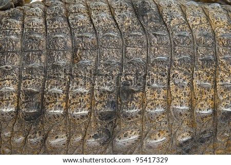 Close up of the back of an Australian Fresh Water Crocodile's scales.