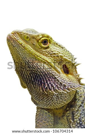 Close-up of the Bearded Dragon head on a white background.