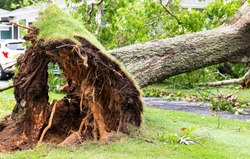 Close up of the bottom of a tree that was blown over during a tripical storm with the roots high in the air.