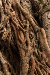 Close up of the braided limb of a temple tree, beautiful natural background.