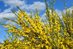 Close up of the branch of blooming yellow flowers of Cytisus scoparius, the common broom or Scotch broom, syn. Sarothamnus scoparius. Blooming broom, Cytisus scoparius in April