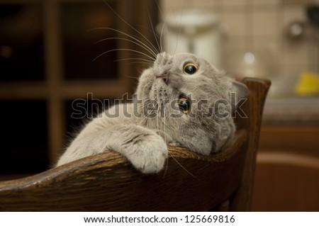 Close-Up Of The Cat Is Played. Naughty Cat\'S Look. Cat British Shorthair In Funny Pose.