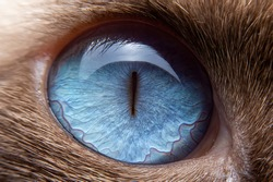 Close-up of the cat's eyes are blue and small hairs around the eyes. Selective focus of the blue eyes of siamese cat.