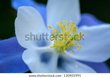 Close up of the center of a Blue Columbine wildflower