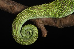 Close-up of the coiled up tail of a male Warty- or Spiny Chameleon (Furcifer verrucosus)