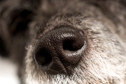 Close up of the cold wet nose of a dog showing the nostrils and texture of a loyal loving canine companion and pet.