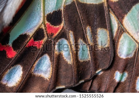 Close up of The Common Jay Butterfly wing detail and texture,The Common Jay Graphium doson axino C & R Felder, 1864 #1525555526