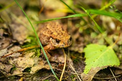 close-up of the common toad, European toad (Bufo bufo) on the forest litter