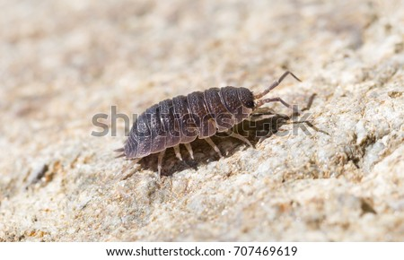 Close-up of the common woodlouse (Oniscus asellus) #707469619