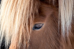 Close-up of the darkbrown eye with light brown eyelashes and blond mane, on the forehead, of a magnificent brown Islandic horse.