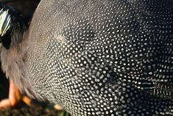 Close up of the dotted wing of guinea fowl