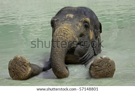 Close up of the elephant swimming  in a zoo pool