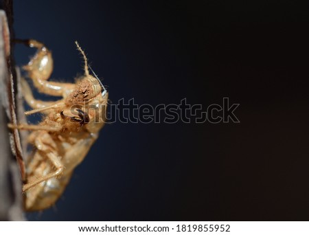 Photo of  Close-up of the empty chitin shell of an insect, which hangs on a tree bark against a dark background