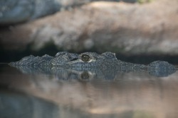 Close up of the eye from a (nile) crocodile (Crocodylus niloticus)
