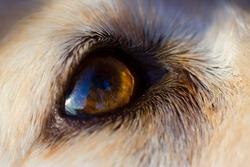 Close-up of the eye of a golden retriever