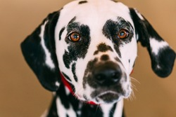 Close up of the face of a dalmatian dog. Beautiful Dalmatian dog head portrait with cute expression in the face