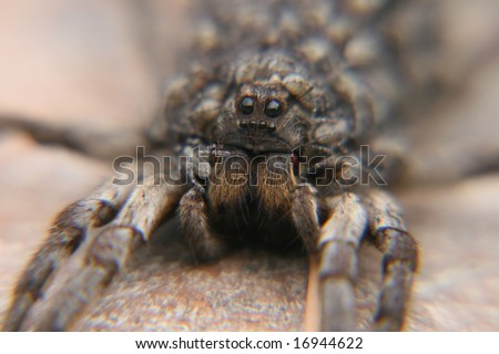Tarantula Babies on Back of a Tarantula With Babies