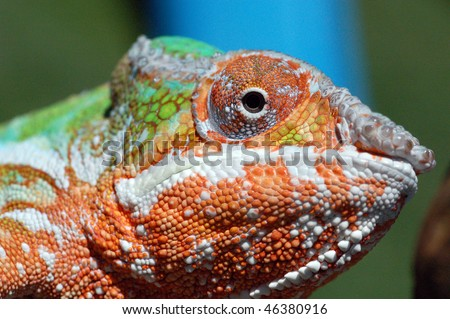 Close up of the face of an ambilobe panther chameleon
