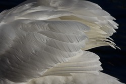 close-up of the feathers of a swan's wing